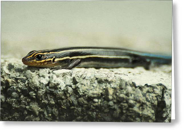Eastern United States Greeting Cards - Portrait of a Young Skink Greeting Card by Rebecca Sherman