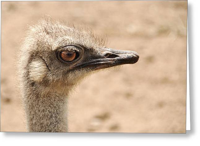 Portrait Of An  Ostrich Greeting Card by Laura Melis