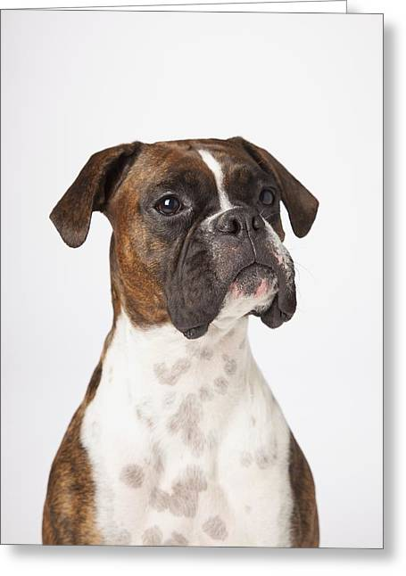 Portrait Of Boxer Dog On White Greeting Card by LJM Photo