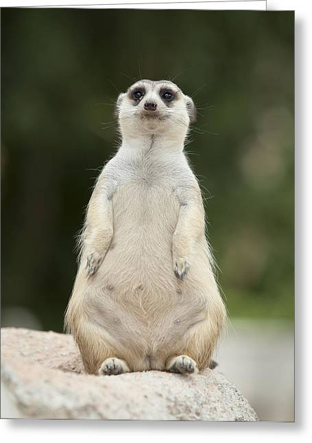 Mouth Guard Greeting Cards - Portrait of meerkat Greeting Card by Anek Suwannaphoom