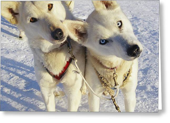 Portrait Of Two Husky Sled Dogs Greeting Card by Paul Nicklen