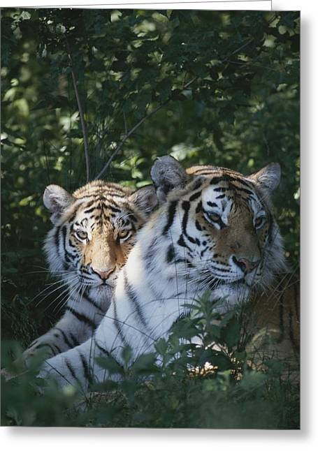 The Tiger Greeting Cards - Portrait Of Two Juvenile Siberian Greeting Card by Dr. Maurice G. Hornocker