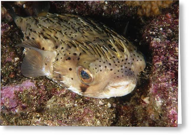 Reef Fish Greeting Cards - Porupinefish Close-up Portrait Sleeping Greeting Card by James Forte