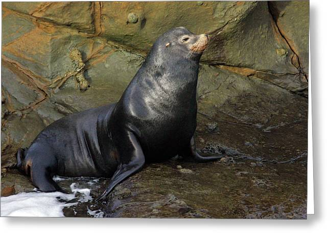 Sea Lions Greeting Cards - Posing Sea Lion Greeting Card by Randall Ingalls