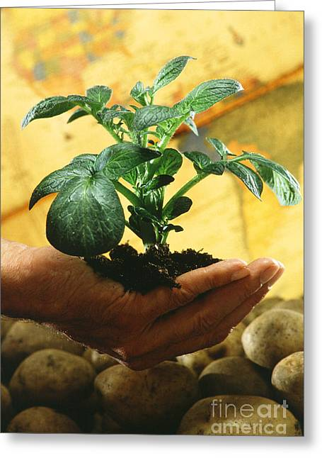 Potato Greeting Cards - Potato Plant Greeting Card by Science Source