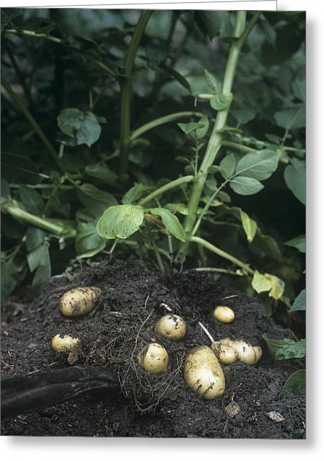 Potatoes (solanum Tuberosum 'charlotte') Greeting Card by Maxine Adcock