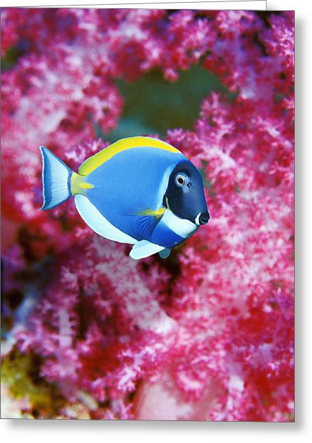 Surgeonfish Greeting Cards - Powder Blue Surgeonfish Greeting Card by Georgette Douwma