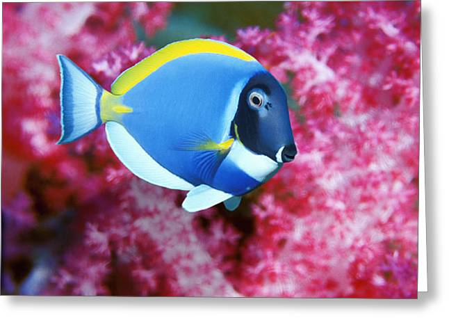 Powder Blue Surgeonfish Greeting Card by Georgette Douwma
