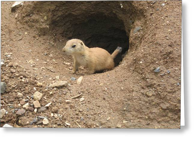 Prairie Dogs Greeting Cards - Prairie Dog Greeting Card by Bill Cannon