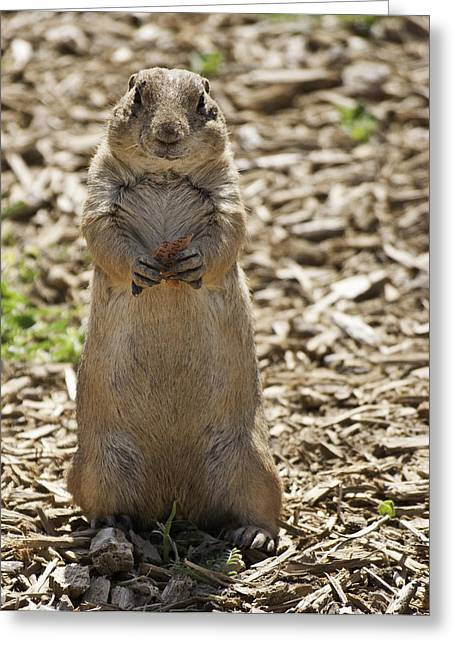 Best Sellers Greeting Cards - Prairie Dog eating Milk Bone Greeting Card by Melany Sarafis