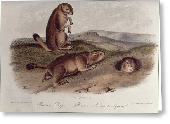 Lithograph Drawings Greeting Cards - Prairie Dog Greeting Card by John James Audubon