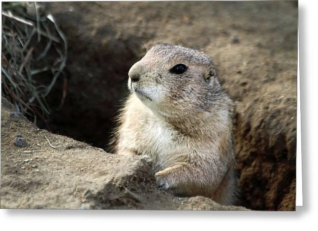 Prairie Dogs Greeting Cards - Prairie Dog Lookout Greeting Card by Karol  Livote