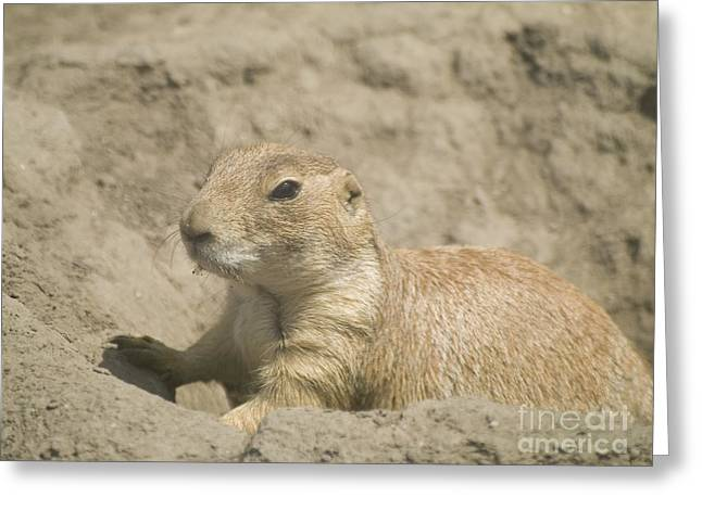 Best Sellers -  - Sahara Sunlight Greeting Cards - Prairie Dog Greeting Card by Odon Czintos