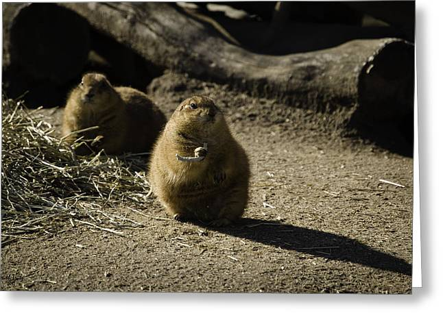 Prairie Dogs Greeting Cards - Prairie Dog Sees The Shadow Greeting Card by Trish Tritz