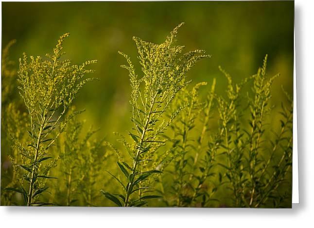Prairie Photographs Greeting Cards - Prairie Goldenrod Greeting Card by Steve Gadomski