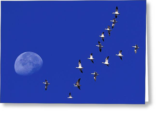 Prairie Migration Greeting Card by Tony Beck