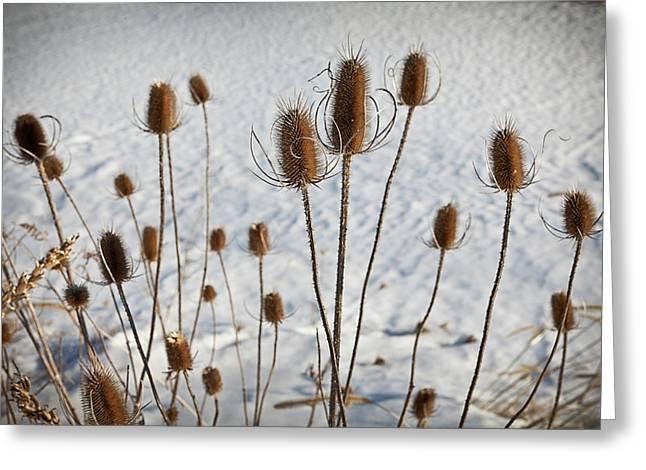 Snow Seeds Greeting Cards - Prairie Seedheads Greeting Card by Steve Gadomski