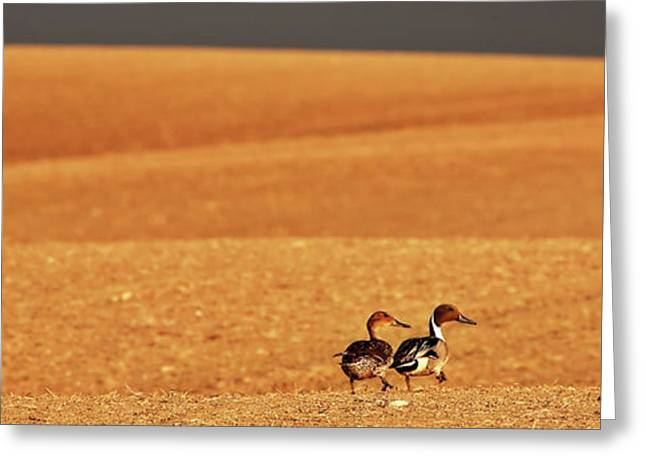 Overcast Day Digital Art Greeting Cards - Prairie Storm and ducks Canada Greeting Card by Mark Duffy