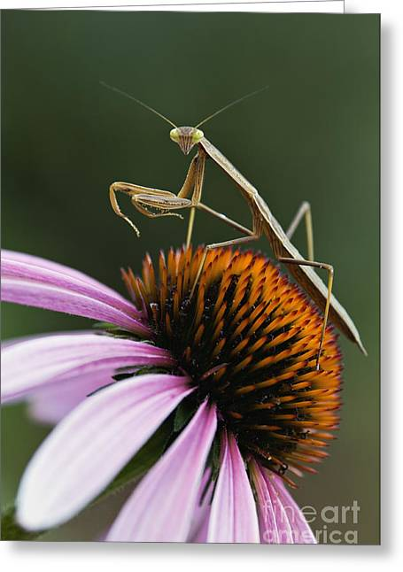 Preying Mantis Greeting Cards - Praying Mantis and Coneflower - D008024 Greeting Card by Daniel Dempster