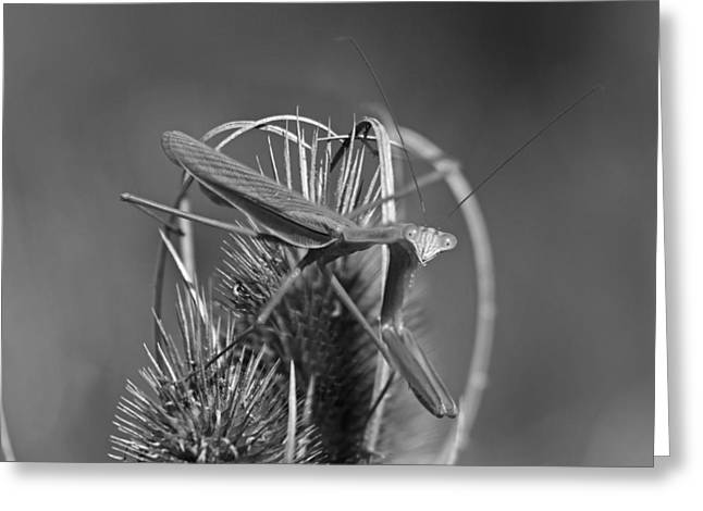 Praying Mantis Greeting Card by Betsy C Knapp