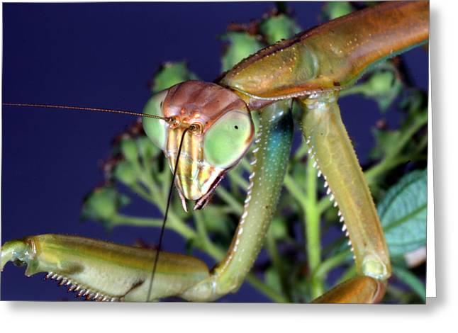 Myeress Greeting Cards - Praying Mantis Greeting Card by Joe Myeress