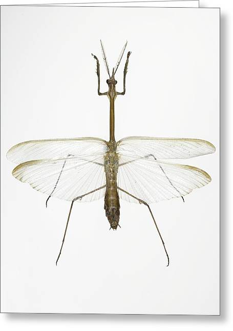 Greek Insects Greeting Cards - Praying Mantis Greeting Card by Lawrence Lawry