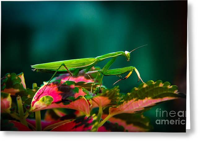 Haybale Greeting Cards - Praying Mantis Greeting Card by Robert Bales