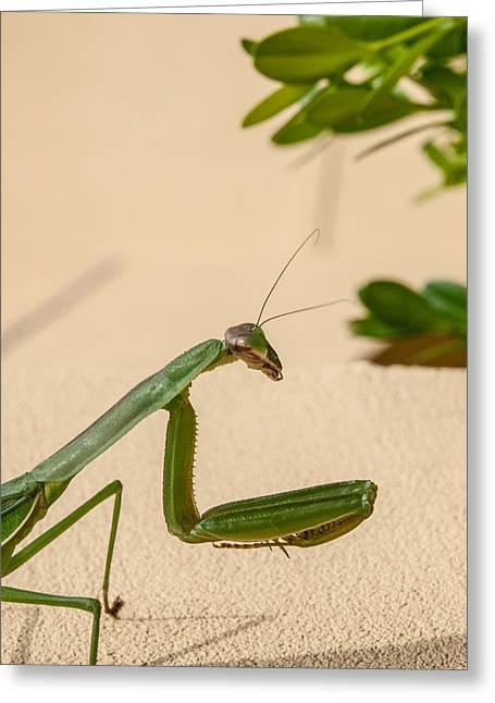 Praying Mantis Greeting Cards - Praying Mantis Too Greeting Card by Jim DeLillo