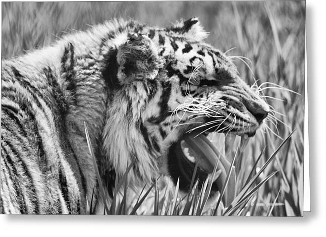 Large Cats Greeting Cards - Predator Greeting Card by Naman Imagery