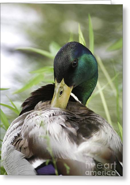 """nature Photography Prints"" Greeting Cards - Preening Just A Bit Greeting Card by Deborah Benoit"