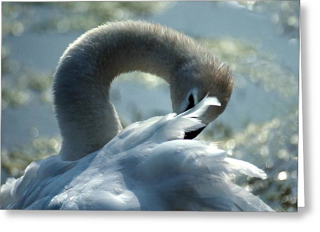 Photos Of Birds Greeting Cards - Preening Swan Greeting Card by Skip Willits
