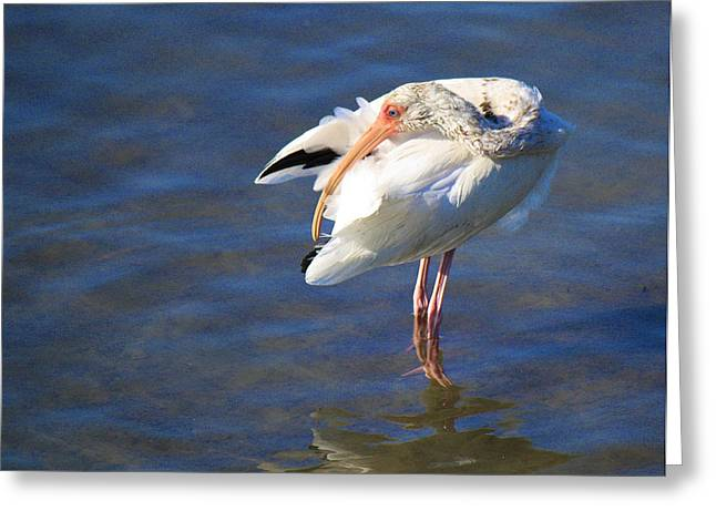 Wildlife Genre Greeting Cards - Preening The Evening Ritual  Greeting Card by Roena King