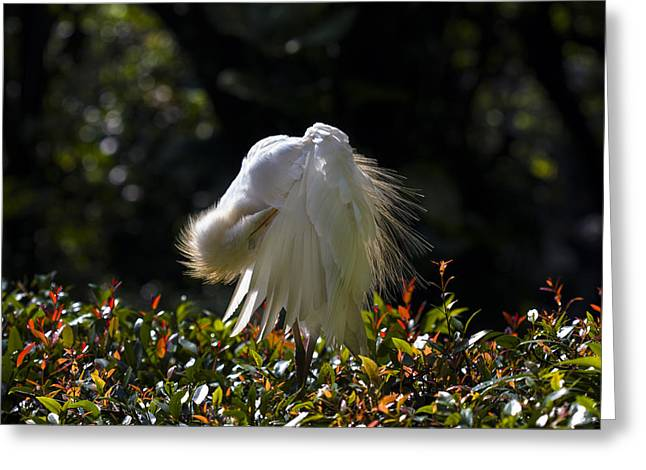 Cattle Egret Greeting Cards - Preening Time Greeting Card by Zoe Ferrie