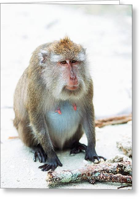 Long Tail Greeting Cards - Pregnant Long-tailed Macaque Greeting Card by Georgette Douwma