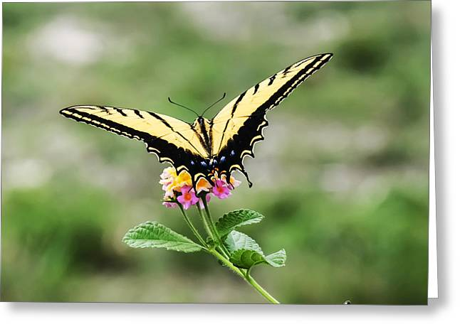 Butterfly Greeting Cards - Prepare for take off Greeting Card by Kelly Rader