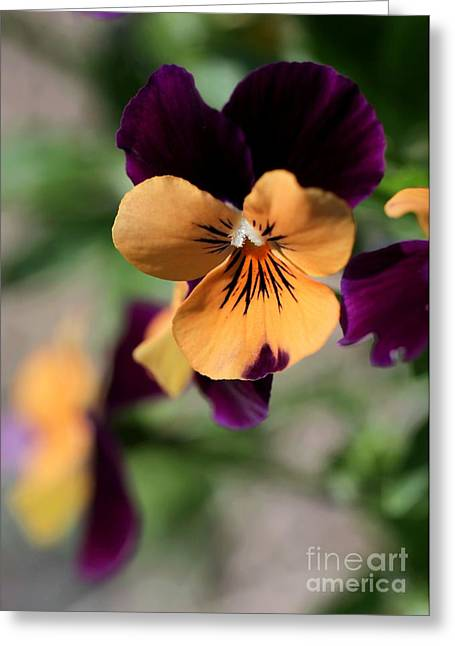 Broward Greeting Cards - Prettiest Pansy Greeting Card by Sabrina L Ryan