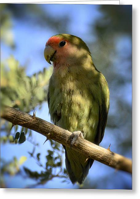 Peach-faced Lovebird Greeting Cards - Pretty Bird Greeting Card by Saija  Lehtonen