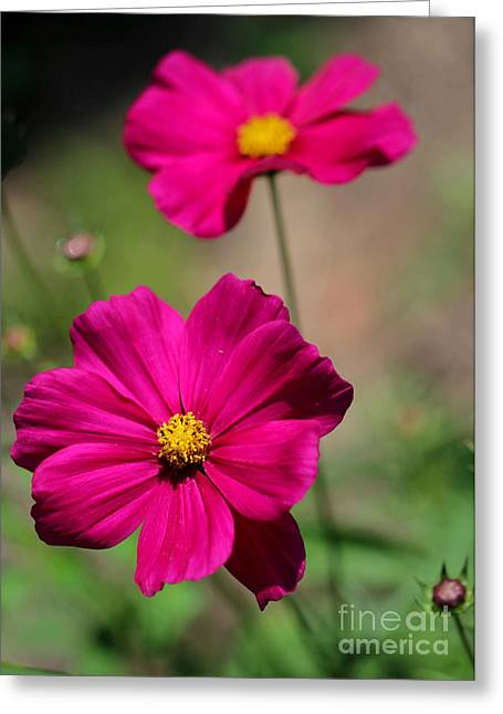 Florida Flowers Greeting Cards - Pretty Cosmos Flowers Greeting Card by Sabrina L Ryan