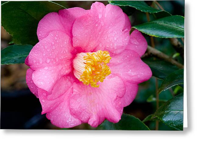 Camellia Photographs Greeting Cards - Pretty in Pink 2 Greeting Card by Rich Franco