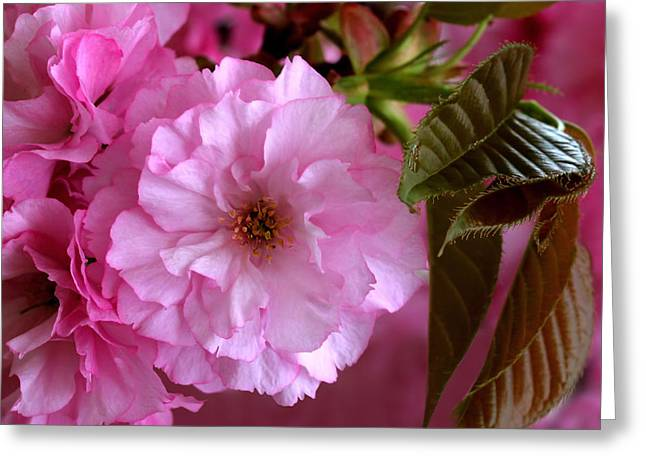 Pink Blossoms Greeting Cards - Pretty In Pink Blossom Greeting Card by Tracie Kaska