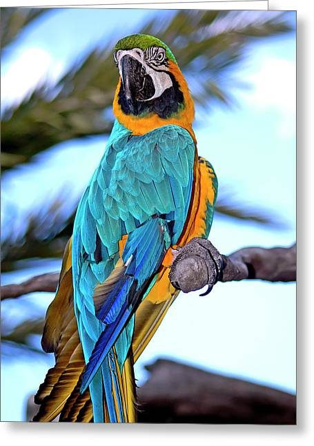 Macaw Parrot Greeting Cards - Pretty Parrot Greeting Card by Carolyn Marshall