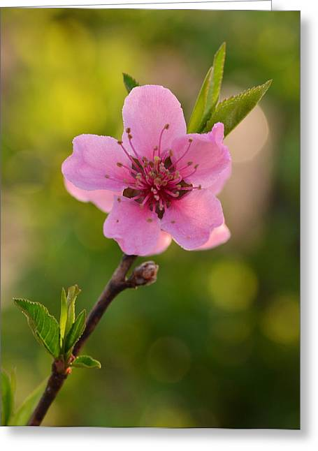 Pretty Pink Peach Greeting Card by JD Grimes