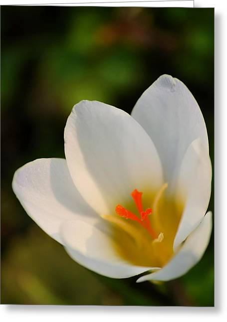 Pretty White Crocus Greeting Card by JD Grimes
