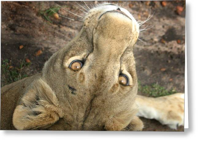 Lioness Greeting Cards - Priceless Greeting Card by Joseph G Holland