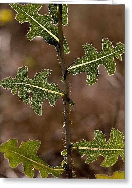 Lettuce Greeting Cards - Prickly Lettuce (lactuca Serriola) Greeting Card by Bob Gibbons