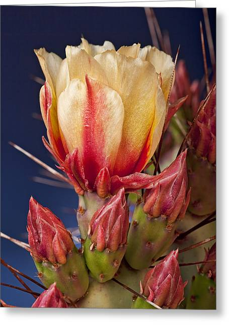 Prickly Greeting Cards - Prickly Pear Flower Greeting Card by Kelley King