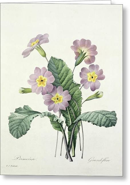 Coloured Flower Greeting Cards - Primrose Greeting Card by Pierre Joseph Redoute