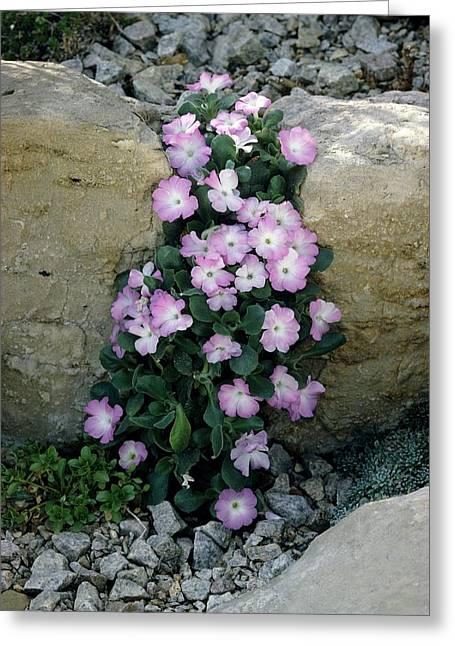 Pink Primroses Greeting Cards - Primula Allionii cloud Flight Flowers Greeting Card by Vaughan Fleming