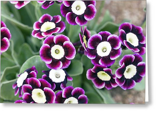 Pink Primroses Greeting Cards - Primula Auricula dusky Maiden Greeting Card by Dr Keith Wheeler
