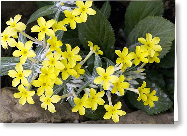 Northern Africa Photographs Greeting Cards - Primula Verticillata Flowers Greeting Card by Bob Gibbons